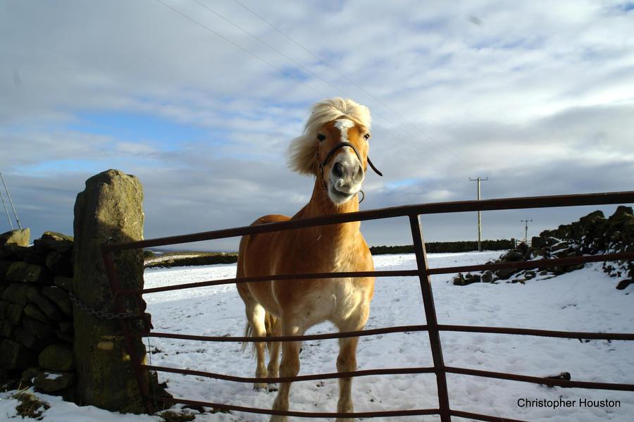 Yorkshire moorland pony