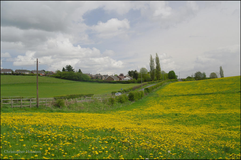 Dandelion field by squareprismish