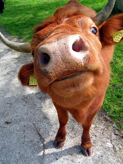 http://fc02.deviantart.com/fs10/i/2006/124/8/7/Cozy_Cow_by_straightpunkpoet.jpg