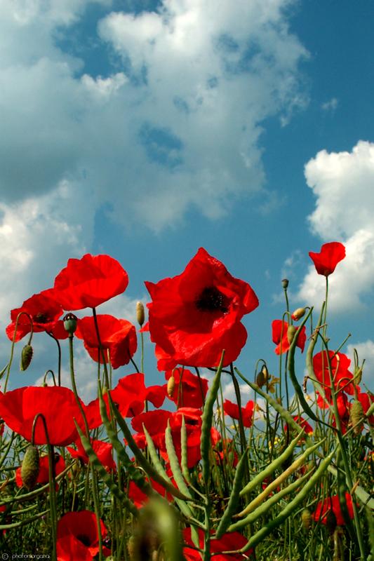 Poppies by photomorgana