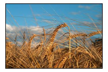 Wheat by photomorgana