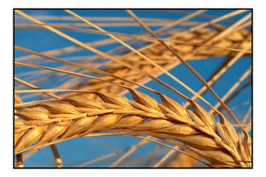 Wheat 2 by photomorgana