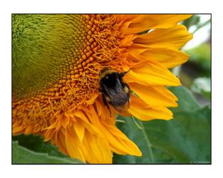 Bee on Sunflower I by photomorgana
