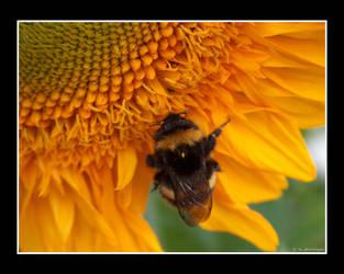 Bee on sunflower II by photomorgana