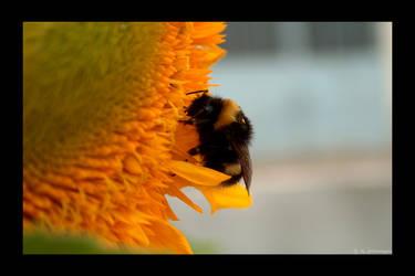 Bee on sunflower III by photomorgana