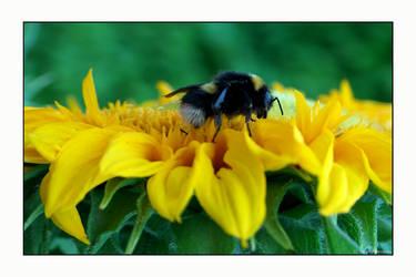 Bee on sunflower IV by photomorgana