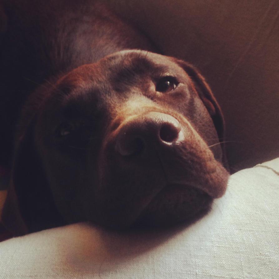 Chocolate Labrador Face Coloring Page