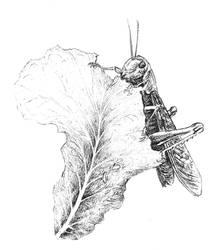 Locust in Africa