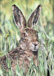 Hare by arhicks
