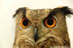 eagle owl V