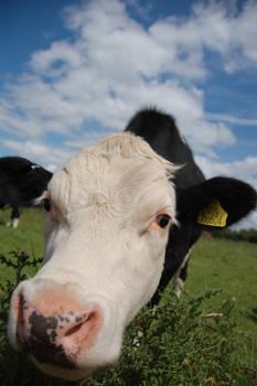Nosy Cow...