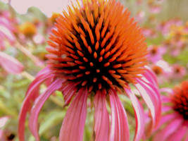 Coneflowers by brookebrisa