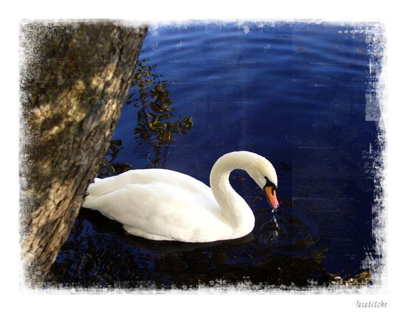 Swan by tarasische