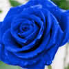 Blue rose by BlueRavenAngel