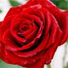Red rose by BlueRavenAngel