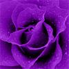 Violet rose by BlueRavenAngel