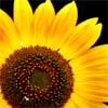 sunflower by BlueRavenAngel