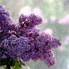 Lilacs by BlueRavenAngel