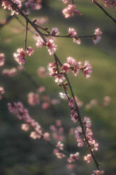 Blossoms by BKPhotography