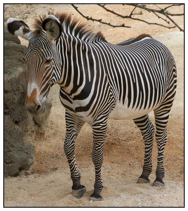 Zebra by shawn529