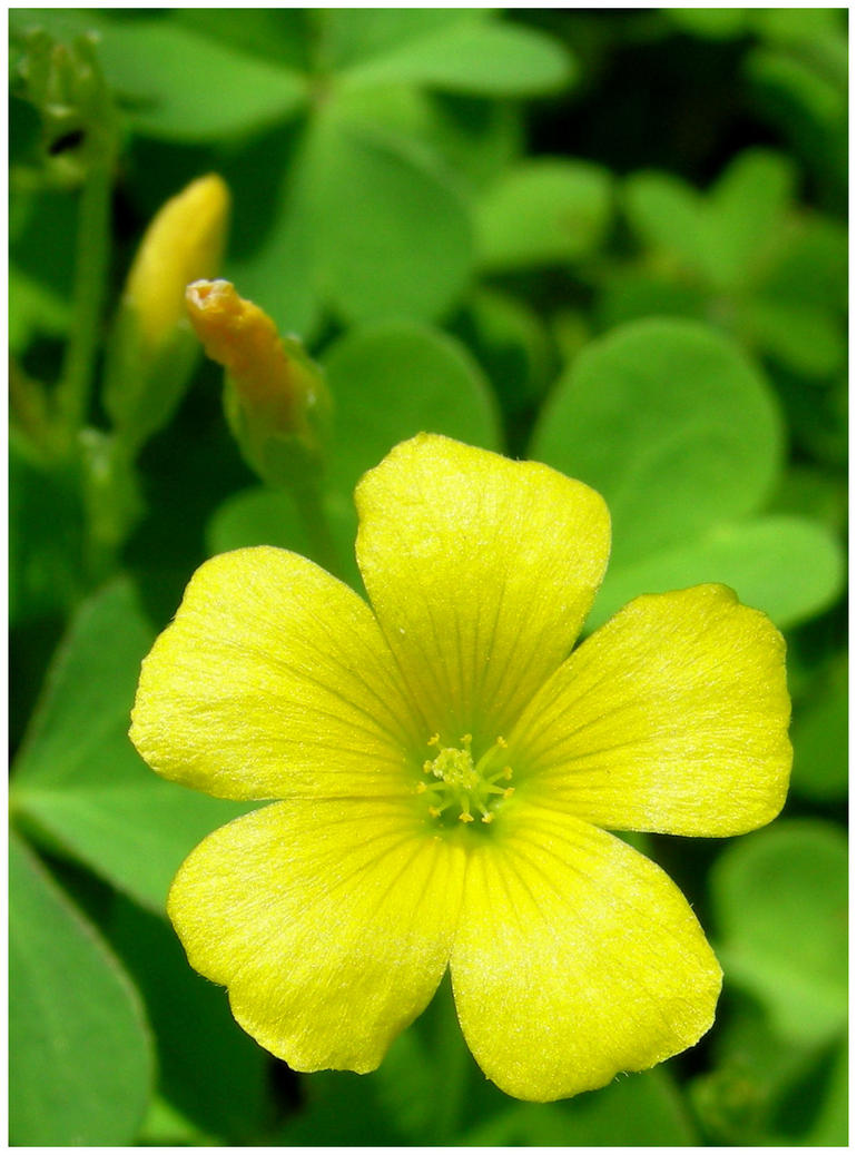 Tiny Yellow Flower In Backyard By Shawn529 On Deviantart