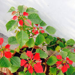 Combination of Red  green leaves