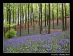 A blue sea of flowers...