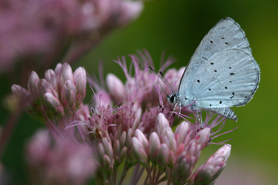 Holly blue by SmoothEyes