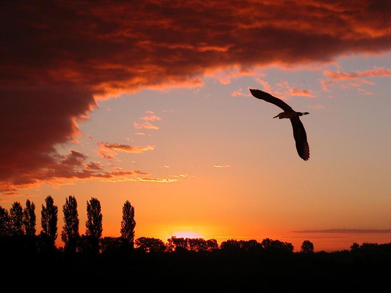Grey heron sailing by - II