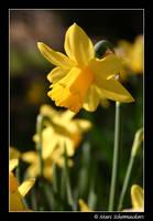 Daffodil by SmoothEyes