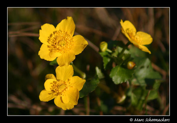 Marsh marigold by SmoothEyes