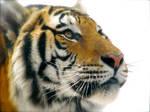 Tiger 3 by SweetLhuna