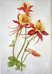 Watercolour Akelei
