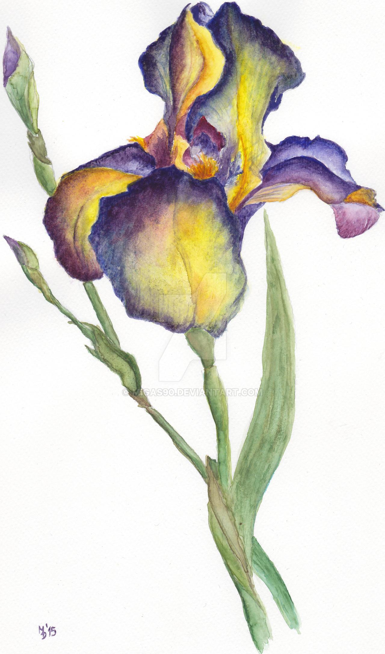 Iris 'Beauty'