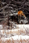 Fox Leap