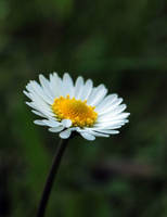 daisy by kenazmedia