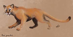 Puma pumoides