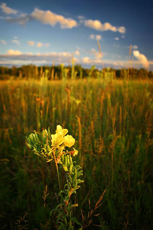 Wildflower by tfavretto