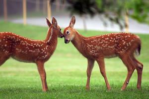 Deer at Jordan Pond by tfavretto