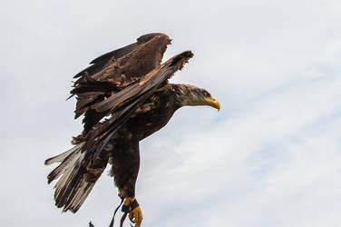 Eagle by oscargascon