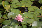 Pink Lily Flower 1