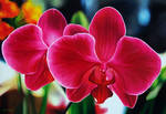 oil painting on canvas 70x100cm (red orchid)