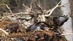 Common Buzzards by RamzisII