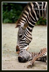 Zebra Whispers