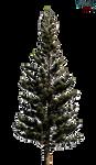 Fresh-pine-trees