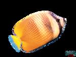 yellow-tang-fish