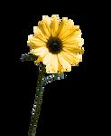 Daisy yellow-flower