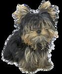 Bichon Yorkie - Dog PNG