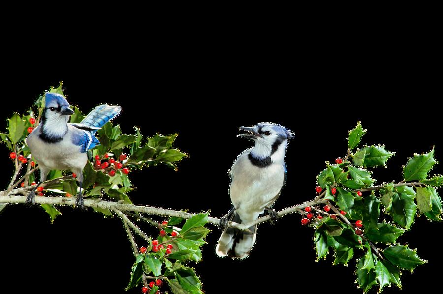 Blue Jays PNG