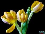 Flower - Tulip PNG
